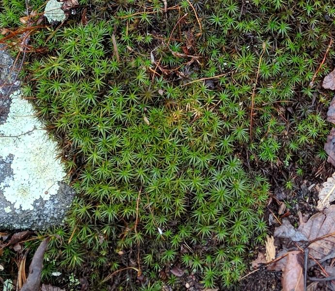 Hairy-cap Moss (Polytrichum)