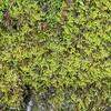 Fern Moss (Hypnum spp)