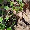 Ivy-leaf Speedwell (Veronica hederaefolia)