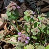 Purple Dead-nettle (Lamium purpureum)