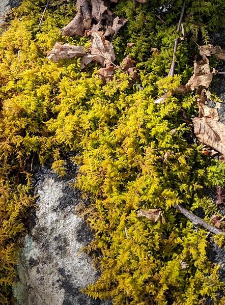 Fern Moss (Hypnum spp.)