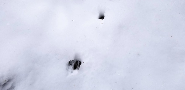 Fresh deer prints where we started heading downhill on the 5420-120 spur