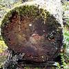 Strange dice embedded in a cut log on Cripple Creek Trail