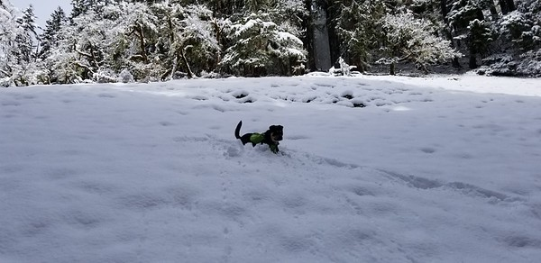 Thor having fun in the deep snow in the hillside meadow on the Cripple Creek trail
