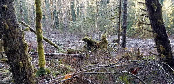 Strange area of blowdown - probably 50 feet wide and a couple hundred feet long - all trees were toppled.