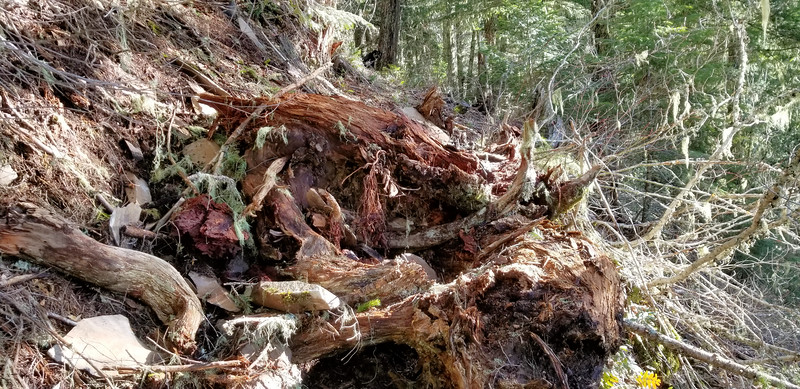 A huge root came down the hillside and landed right on the trail - MP3 Trail