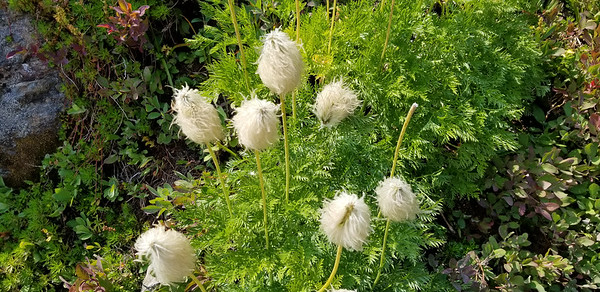 """These interesting flowers were on the way down from the ridge - Carly said her friend calls them """"Dr Seuss flowers"""".  They are white pasqueflowers that have gone to seed."""