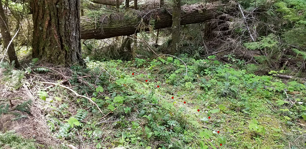 Looking north at the tread - and a bunch of fallen logs - just south of Slide creek on old Bagby Trail