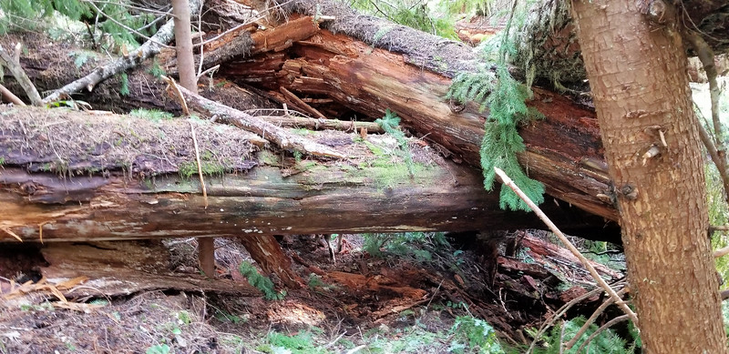 Another one of the big blowdown areas on the old Bagby trail