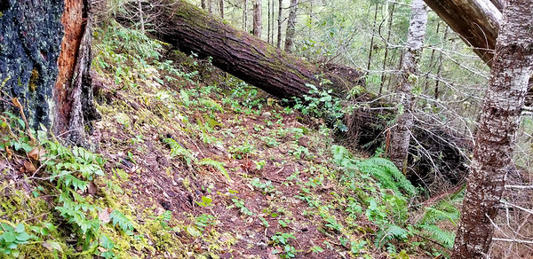 One of the very large logs down on the old Bagby trail
