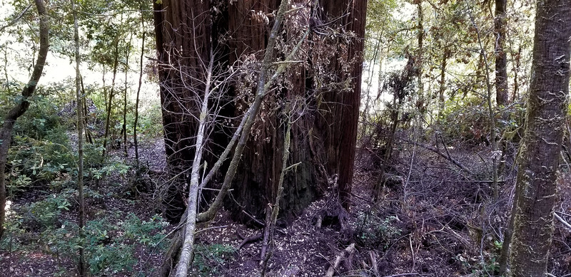 Started seeing a few more redwoods - and they were getting bigger  Emerald Ridge Trail