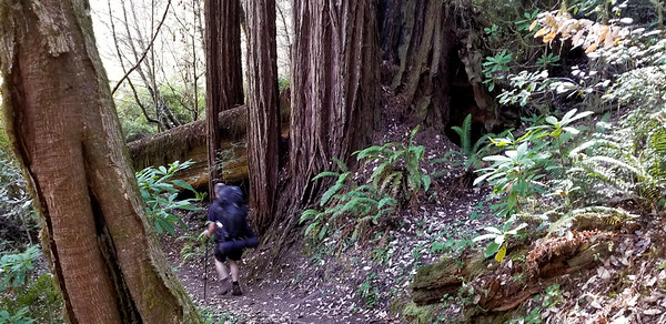 Started seeing a few more redwoods - and they were getting bigger - Emerald Ridge Trail - Kirk for scale