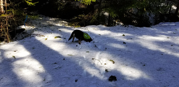 Thor playing in the snow - he kept digging on that one spot - it was where a deer had gone, so I don't know if he had some sort of scent or what - on the Cripple Creek Trail.