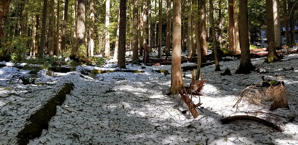 """Area just above first crossing of the 130 spur road - on the Cripple Creek Trail - snow was a foot deep or more here, but well compacted.  We were sinking in about 6"""" or so."""