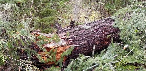 A new big log across the trail - Fish Creek
