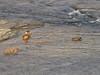 24 Mallard Ducks in Shenandoah River