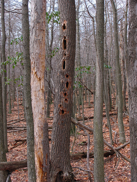 19 Evidence of Pileated Woodpeckers on Old Misery Trail