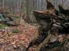 22 Fallen tree_Steep Decent on Old Misery Trail