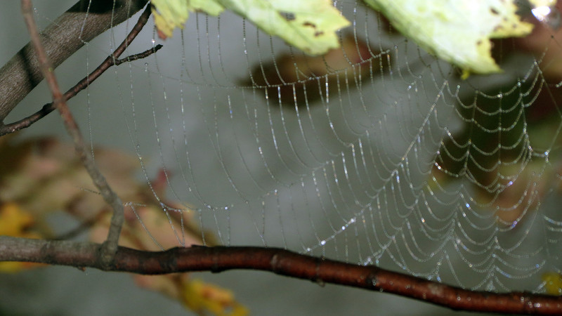 Spider web in a tree along side the AT.