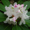 Rhododendron (Rosebay or Great Laurel)