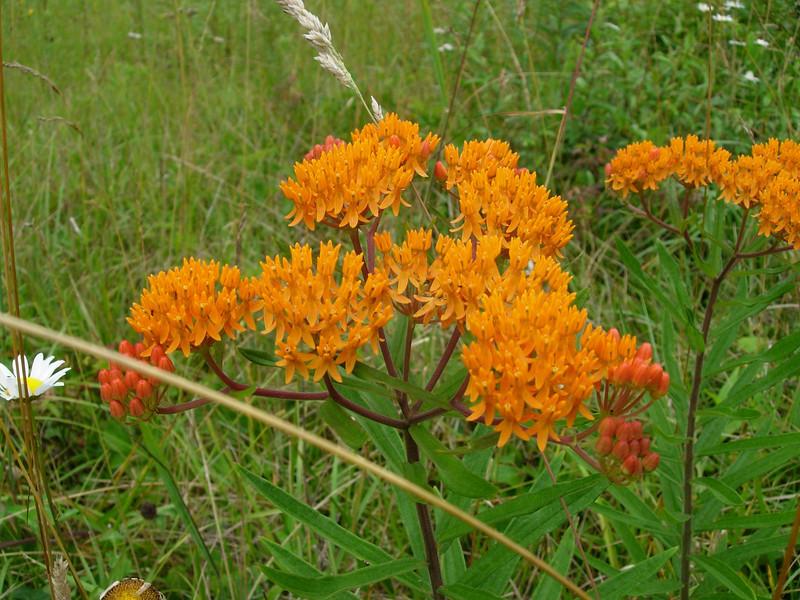 Butterfly weed; orange milkweed