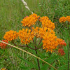 Butterfly weed; orange milkweed