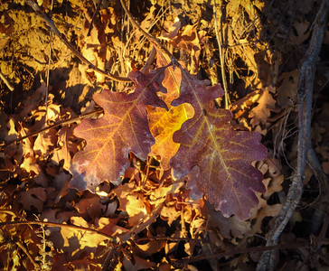 Oak leaves glow in the evening sunset.