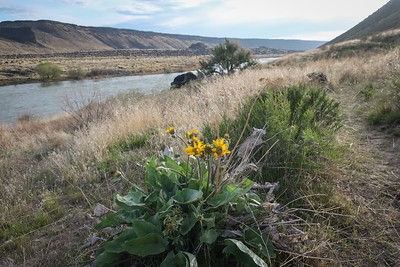 First blooms of balsamroot.