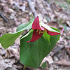 Tuesday, hiking S. from Iron Mtn. Gap to Indian Grave Gap.  Purple Trillium.