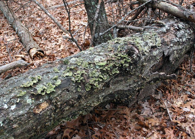 3/6/09 - Log with green fungus