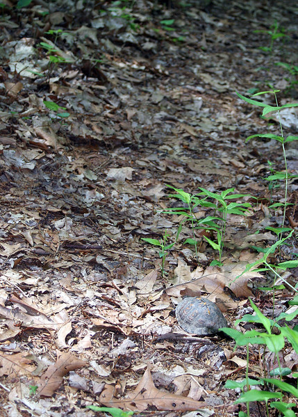 Box turtle along the trail
