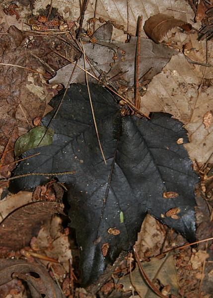A black leaf