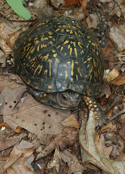 Box turtle we saw along the trail