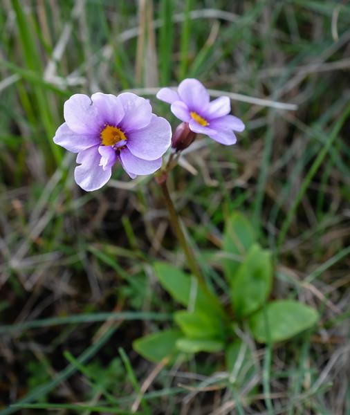 Cusick's primrose (Primula cusickiana), localized and rare