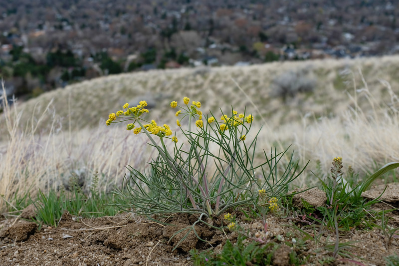 Great Basin biscuitroot (Lomatium simplex), formerly Nineleaf