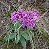 Aase's onion (Allium aaseae), next to Silverleaf phacelia (Phacelia hastata)
