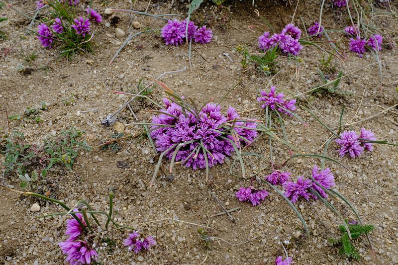 Aase's onion (Allium aaseae)