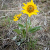 First bloom of Arrowleaf balsamroot (Balsamorhiza sagittata)