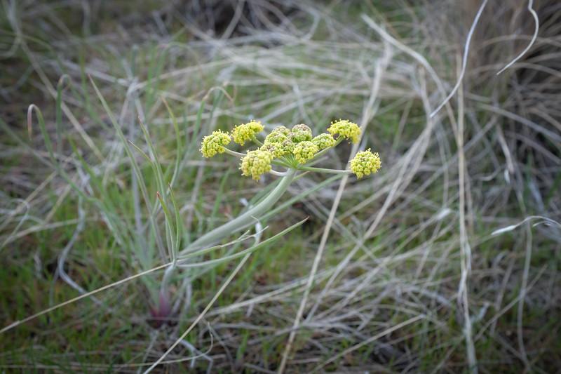 Great Basin biscuitroot (Lomatium simplex), formerly Nineleaf