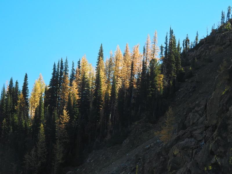 Larch Trees Climbing