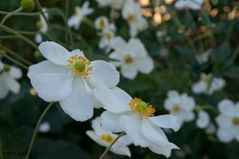 Flowers<br> <del>Lilies?</del><br> Dahlias?