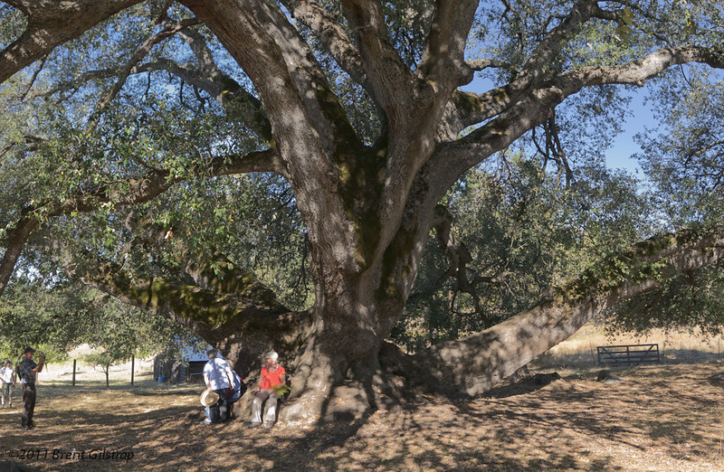 Biggest Oak in California<br /> (Or so they tell me)
