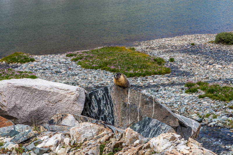 Muir Pass Marmot 9-9-17_MG_4506