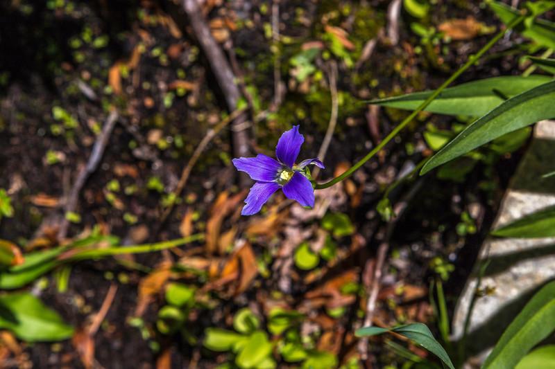 Unknow purple flower of Serria Nevada Mts  9-10-17_MG_4592