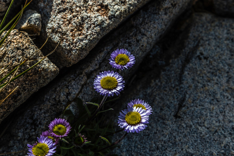 Purple daisy 9-11-17_MG_4673