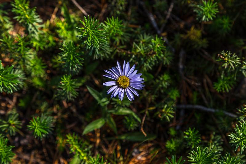 Purple daisy 8-31-17_MG_3673
