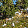 Deer near Donohue Pass 9-2-17_MG_3870