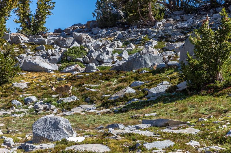 Deer near Donohue Pass 9-2-17_MG_3865