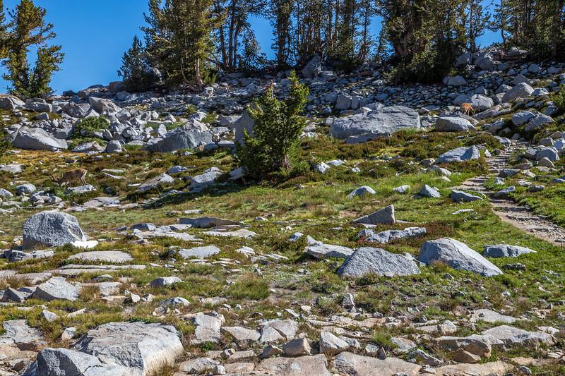 Deer near Donohue Pass 9-2-17_MG_3866