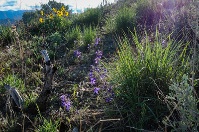 Larkspur glows in morning light.